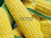 Luminox F1 - Seminţe hibrid de porumb zaharat - SEMO