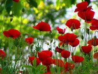 Картина напечатанная на холсте - Картина Цветы 0013 / Печать на холсте