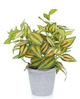 Flori tradescantia verde, 30 cm