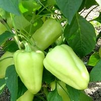 Lotta (500 seminţe)