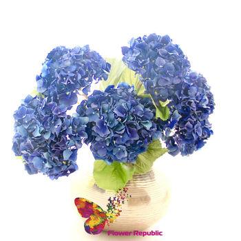 купить Гортензия синяя в Кишинёве