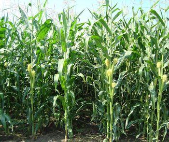купить Бриксо - Семена кукурузы - RAGT Semences в Кишинёве