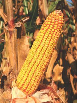 купить ZP 427 - Семена кукурузы - Земун Поле в Кишинёве