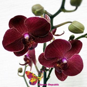 купить Орхидея бордовая в Кишинёве
