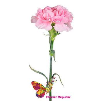 купить Розовые гвоздики поштучно в Кишинёве