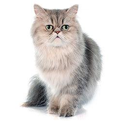 Pisici senioare (7+)