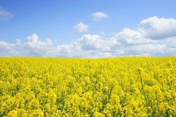 купить Араззо - Семена рапса озимого - RAGT Semences в Кишинёве