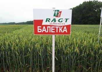 купить Балетка - Семена озимой Пшеницы - RAGT Semences в Кишинёве