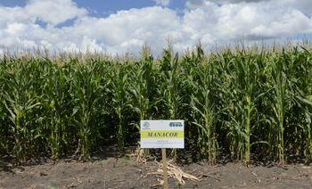 купить Манакор - Семена кукурузы - Семилас Фито в Кишинёве