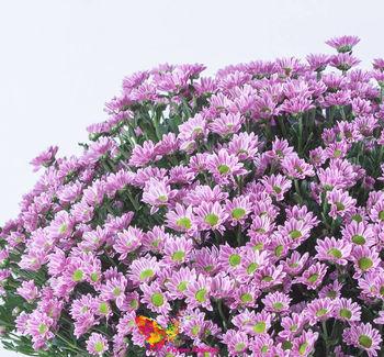 купить Хризантема кустовая мини розовая поштучно в Кишинёве