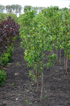 купить Райская яблоня в Кишинёве