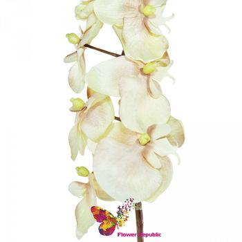 купить Орхидея кремовая в Кишинёве