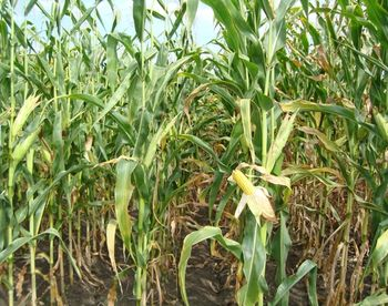 купить Гексагон - Семена кукурузы - RAGT Semences в Кишинёве
