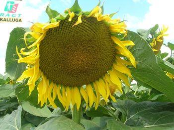 купить Каллуга - Семена подсолнечника - RAGT Semences в Кишинёве