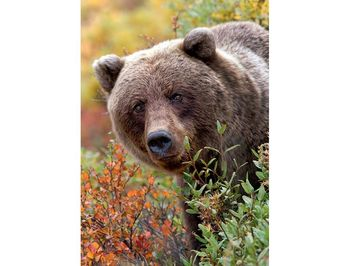 "10518 Trefl Puzzles-""1000""-Nature Wild Royals-Grizzly bear, Alaska,USA"