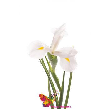 cumpără Iris  alb pret/buc în Chișinău
