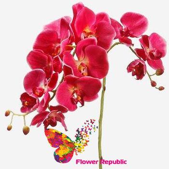 купить Орхидея малиновая в Кишинёве