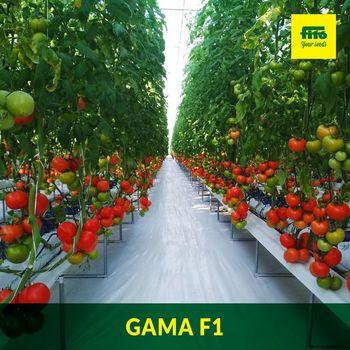 купить Гамма F1 - семена гибрида томата - Семилас Фито в Кишинёве