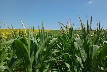 купить Эксалтан - Семена кукурузы - RAGT Semences в Кишинёве