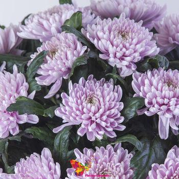 cumpără Crizantema roz pret/buc în Chișinău