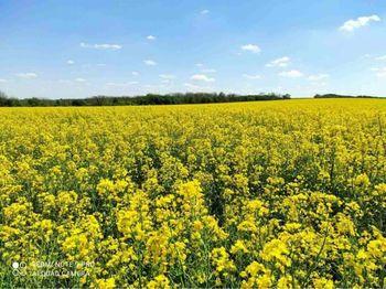 купить Треззор - Семена рапса озимого - RAGT Semences в Кишинёве