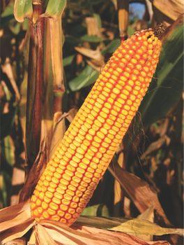 купить ZP 341 - Семена кукурузы - Земун Поле в Кишинёве