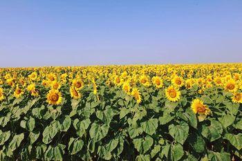 купить Ароматик СУ - Семена подсолнечника - Евралис Семанс в Кишинёве