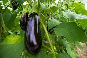 купить Оникс F1 - семена гибрида баклажана - Семилас Фито в Кишинёве
