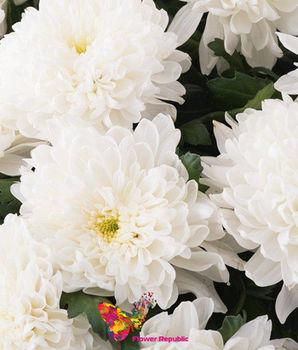 купить Хризантема крупная белая поштучно в Кишинёве