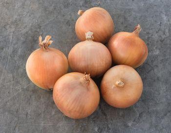 купить Ятоба F1 - семена гибрида лука - Энза Заден в Кишинёве