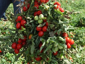 купить Хайнц 1015 F1 - семена гибрида томата - Хайнц Сидс в Кишинёве
