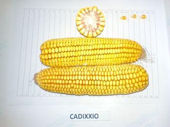 купить Кадиксио - Семена кукурузы - RAGT Semences в Кишинёве