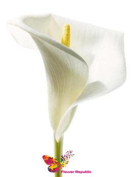 купить Калла белая поштучно в Кишинёве