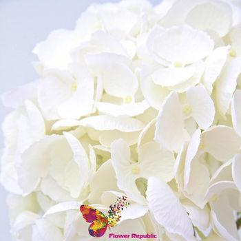 купить Гортензия белая в Кишинёве