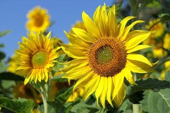 cumpără SUMO Sun - Semințe de Floarea-soarelui - Novi Sad în Chișinău