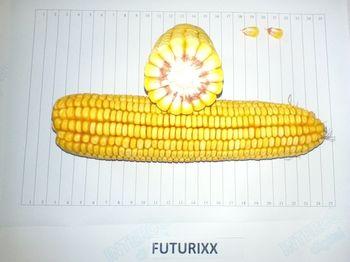 купить Футурикс - Семена кукурузы - RAGT Semences в Кишинёве