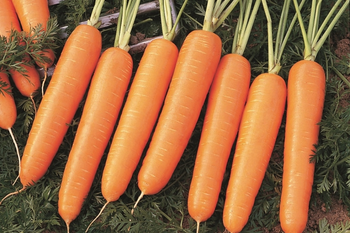 купить Маркетт - семена моркови - СЕМО в Кишинёве