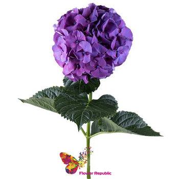купить Фиолетовая и Сиреневая гортензия поштучно в Кишинёве