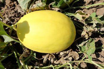 купить Хало F1 - семена гибрида дыни - Холлар Сидс в Кишинёве