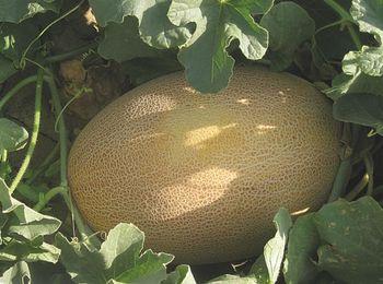купить Бизан F1 - семена гибрида дыни - Энза Заден в Кишинёве