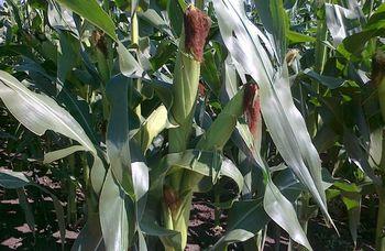 купить Занетикс - Семена кукурузы - RAGT Semences в Кишинёве