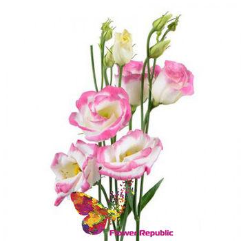 купить Эустома розово-белая Поштучно в Кишинёве