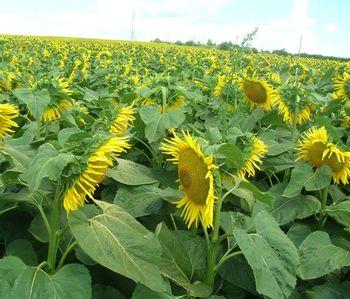 купить Вуллкано ВО - Семена подсолнечника - RAGT Semences в Кишинёве