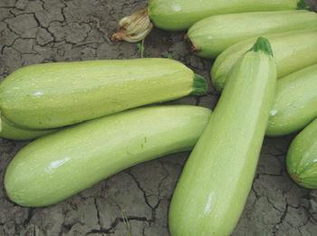 купить Aрдендо F1 - семена гибрида кабачка - Энза Заден в Кишинёве