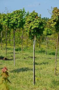 купить Клён остролистный Globosum в Кишинёве