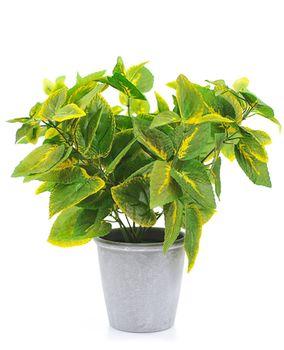 Цветы колеус зелёный 39 см