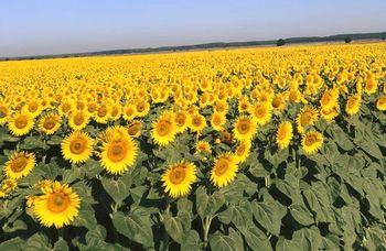 купить Янис КЛП - Семена подсолнечника - Евралис Семанс в Кишинёве