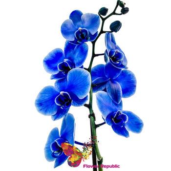cumpără Orhidee albastru în Chișinău