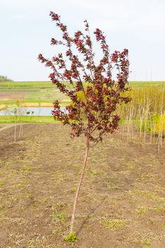 купить Яблоня пурпурная в Кишинёве