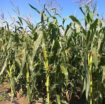купить Ферарикс - Семена кукурузы - RAGT Semences в Кишинёве